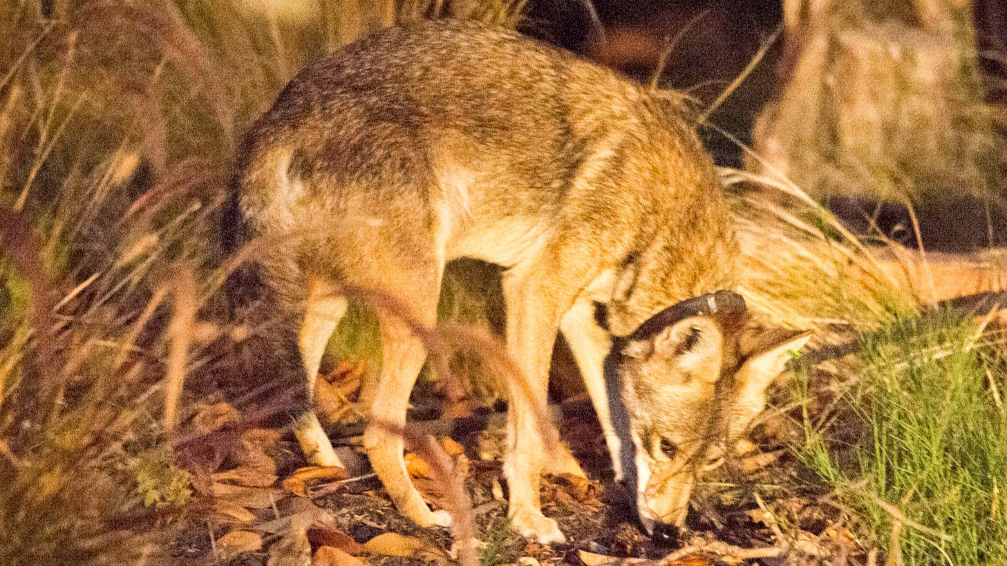Coyote coexistence is a lifestyle California should export LA Times