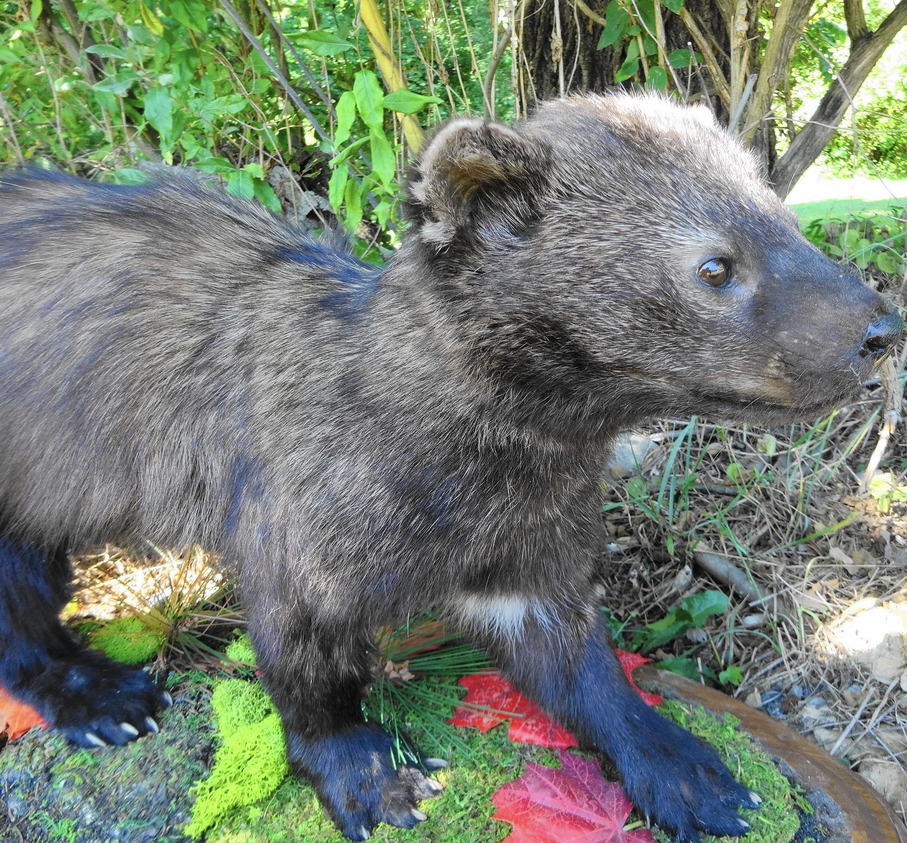 Just what is a fisher cat? - The Morning Call