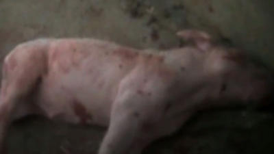 Pork industry, activists debate cruelty recorded in undercover videos