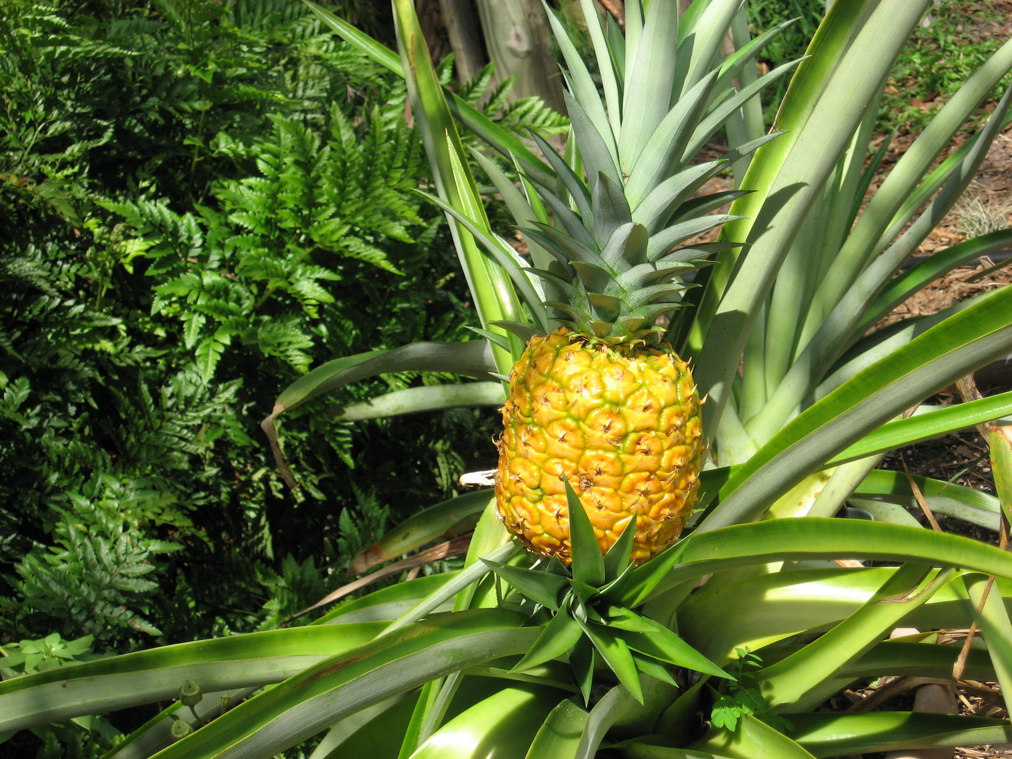 pineapple time in the garden orlando sentinel