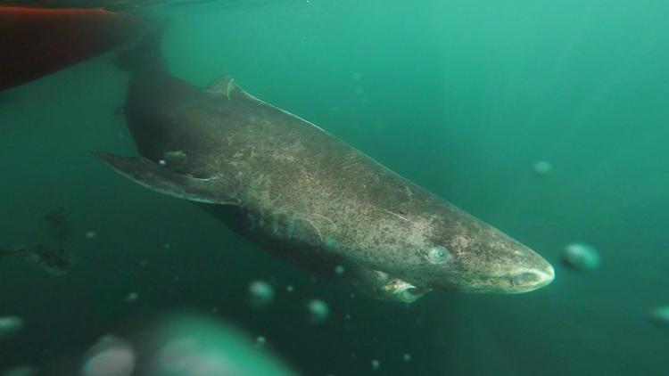 tiburon de Greenland