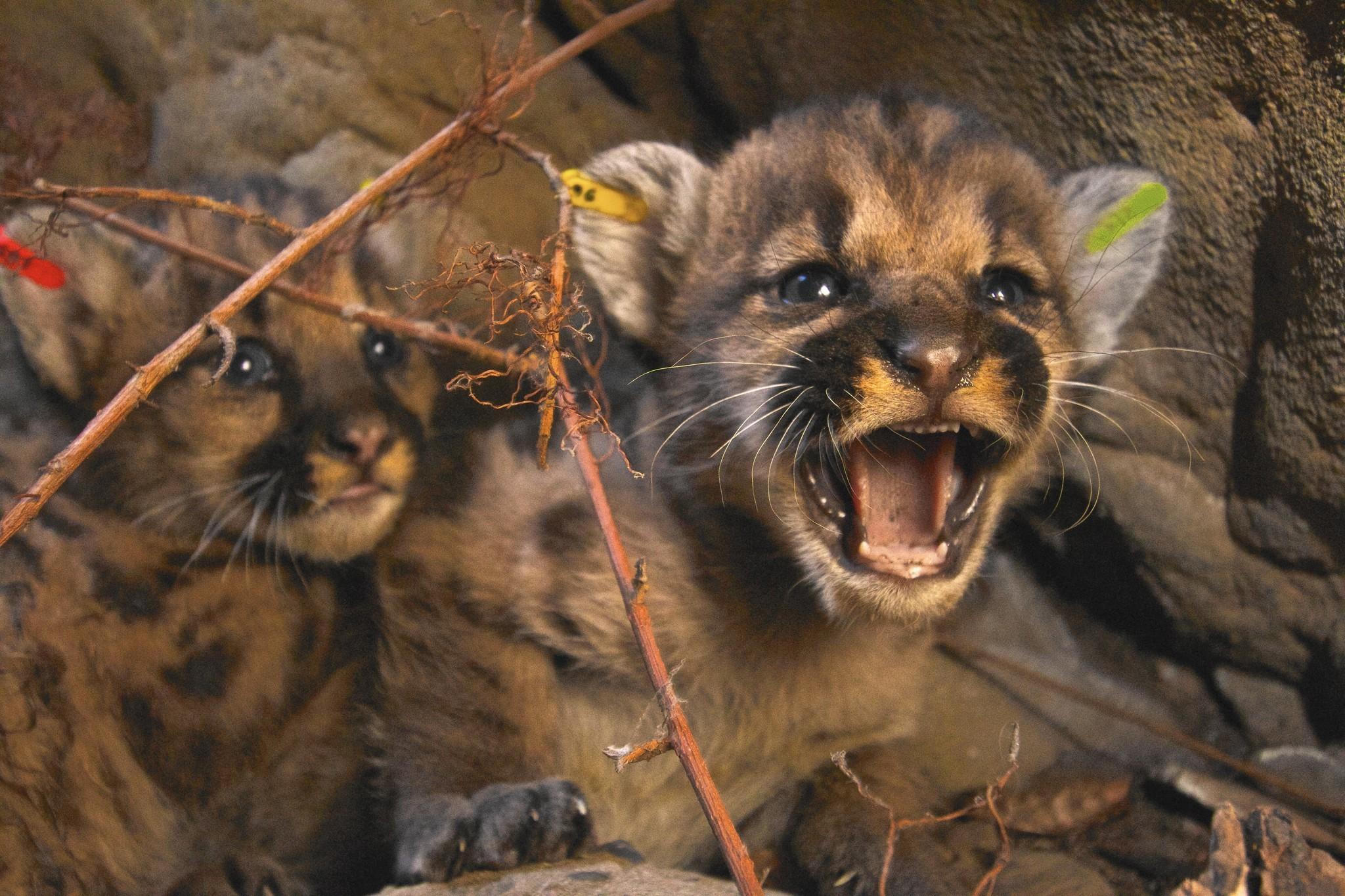 U S Mountain Lion Population Bring back the mountai...