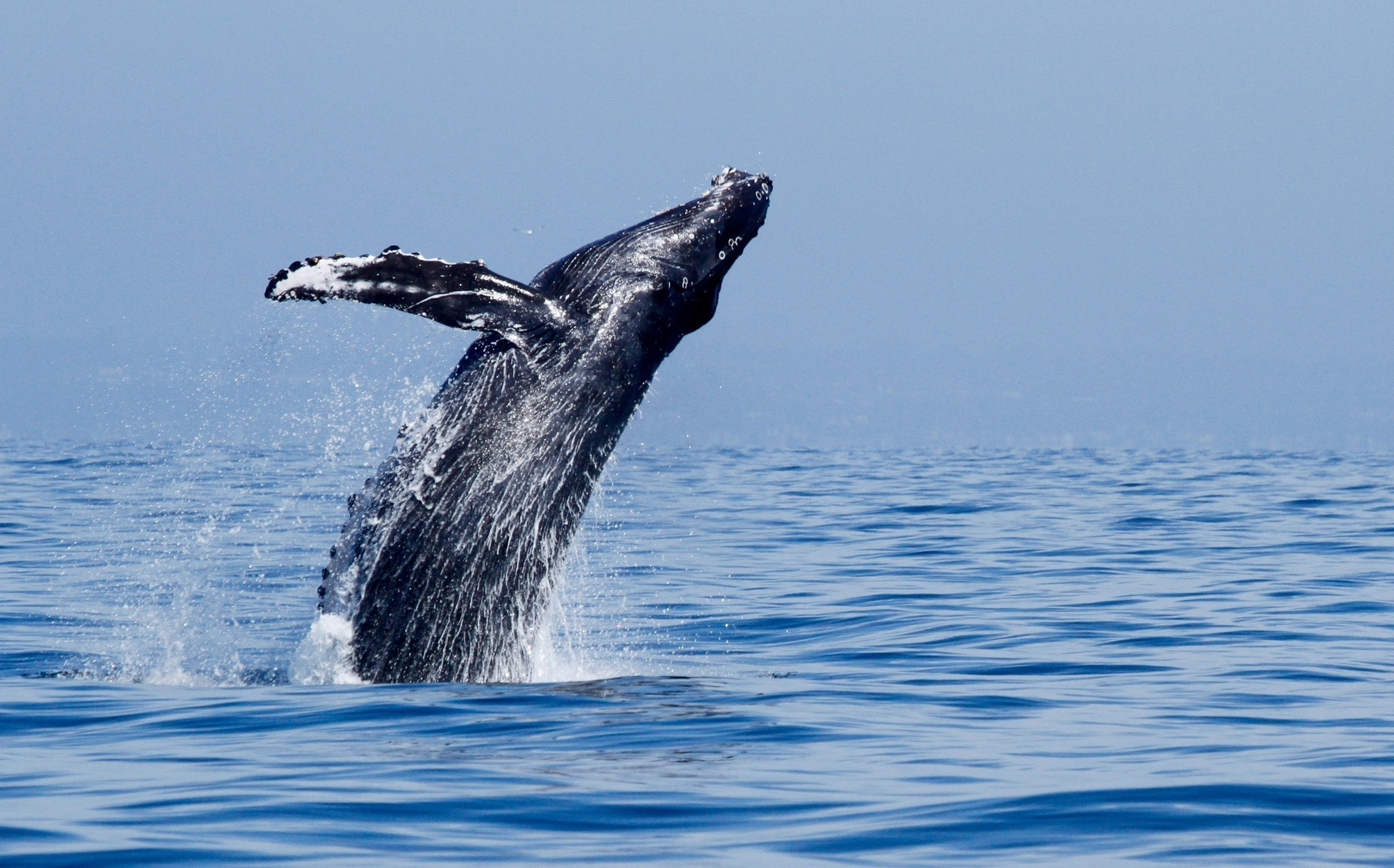 summer whale watching in california where to see blues humpbacks