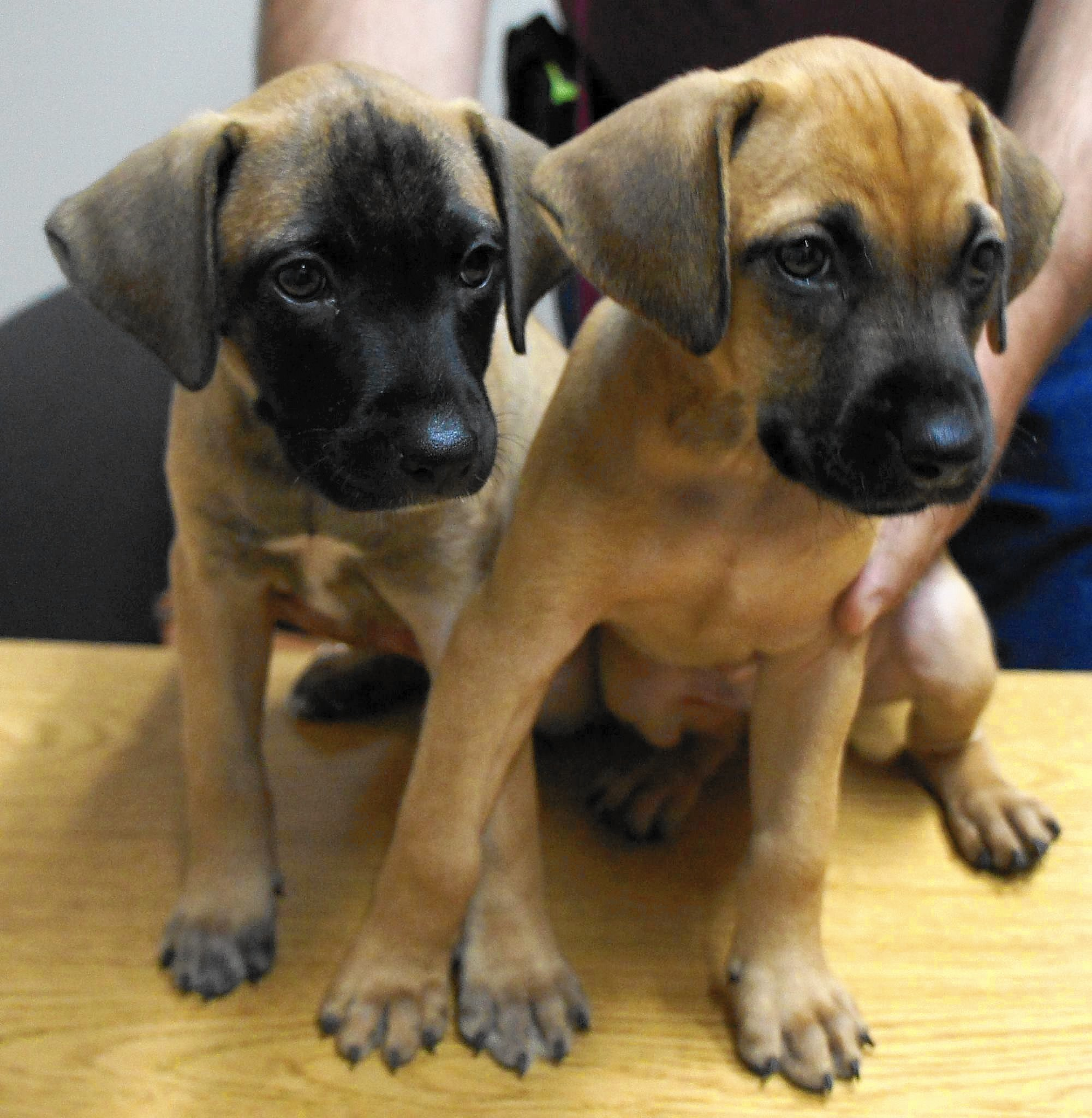 Cur Dog Puppies For Sale