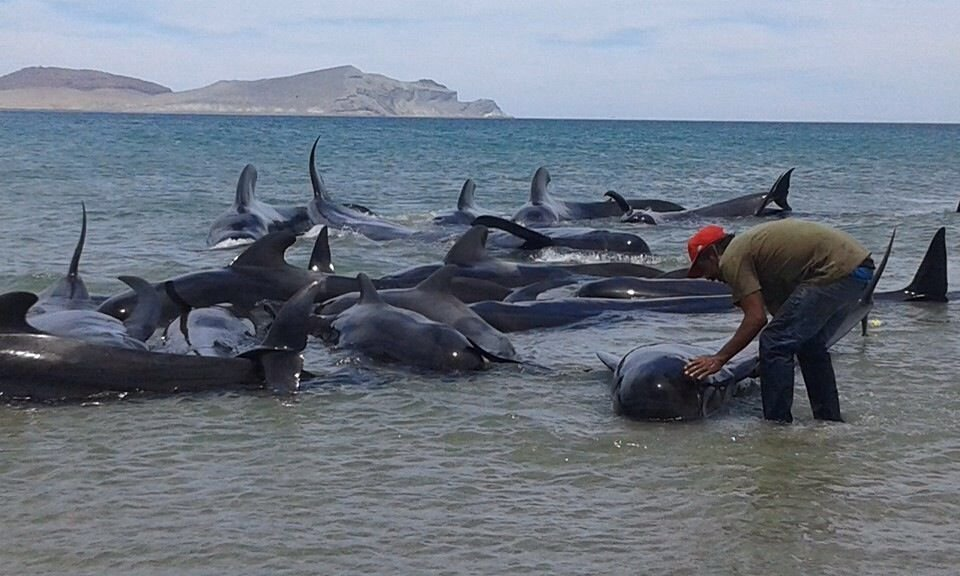Group Of 24 Beached Pilot Whales Die In Gulf Of California Near