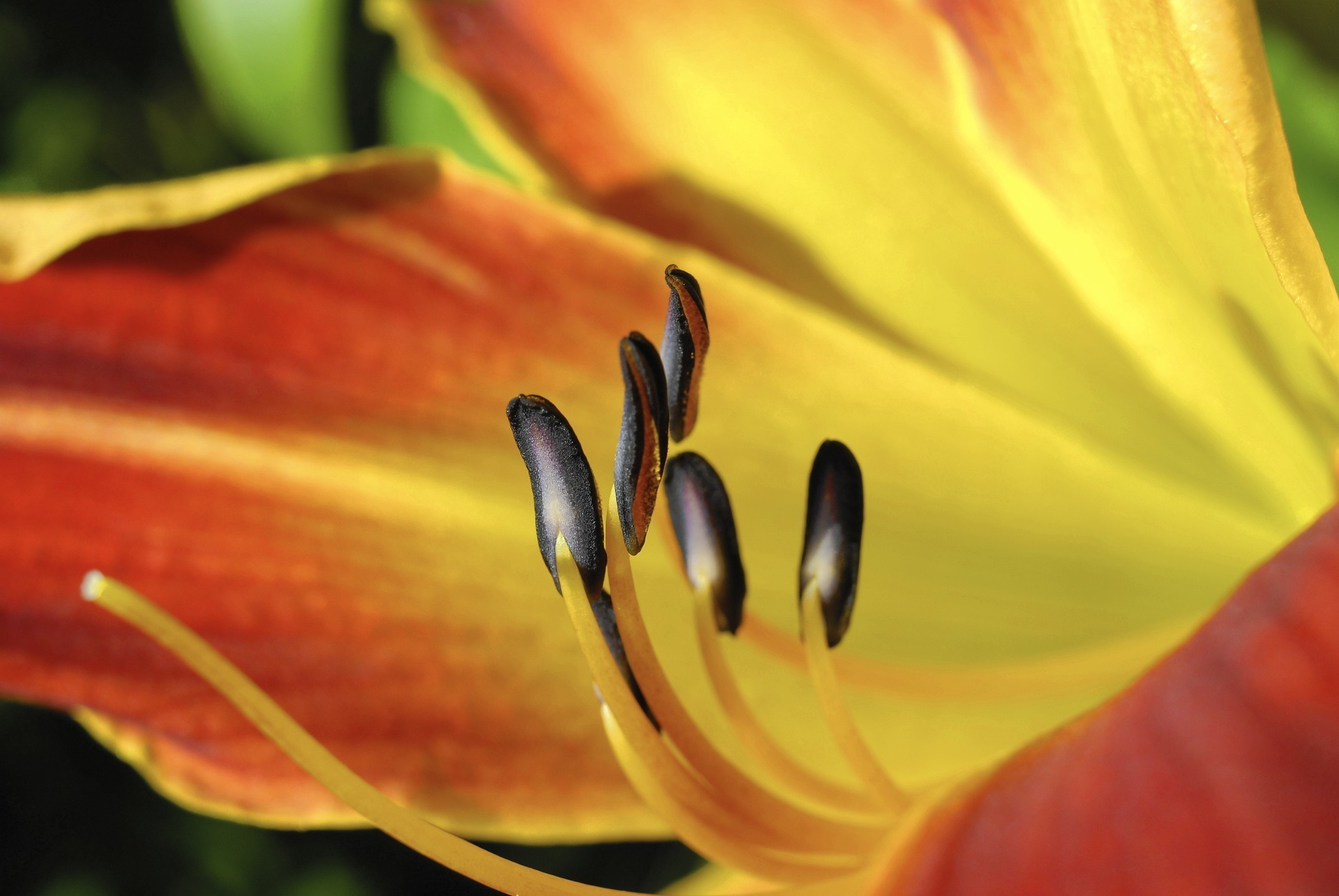 Those darn day lilies how to get rid of the orange blooming pest those darn day lilies how to get rid of the orange blooming pest chicago tribune izmirmasajfo