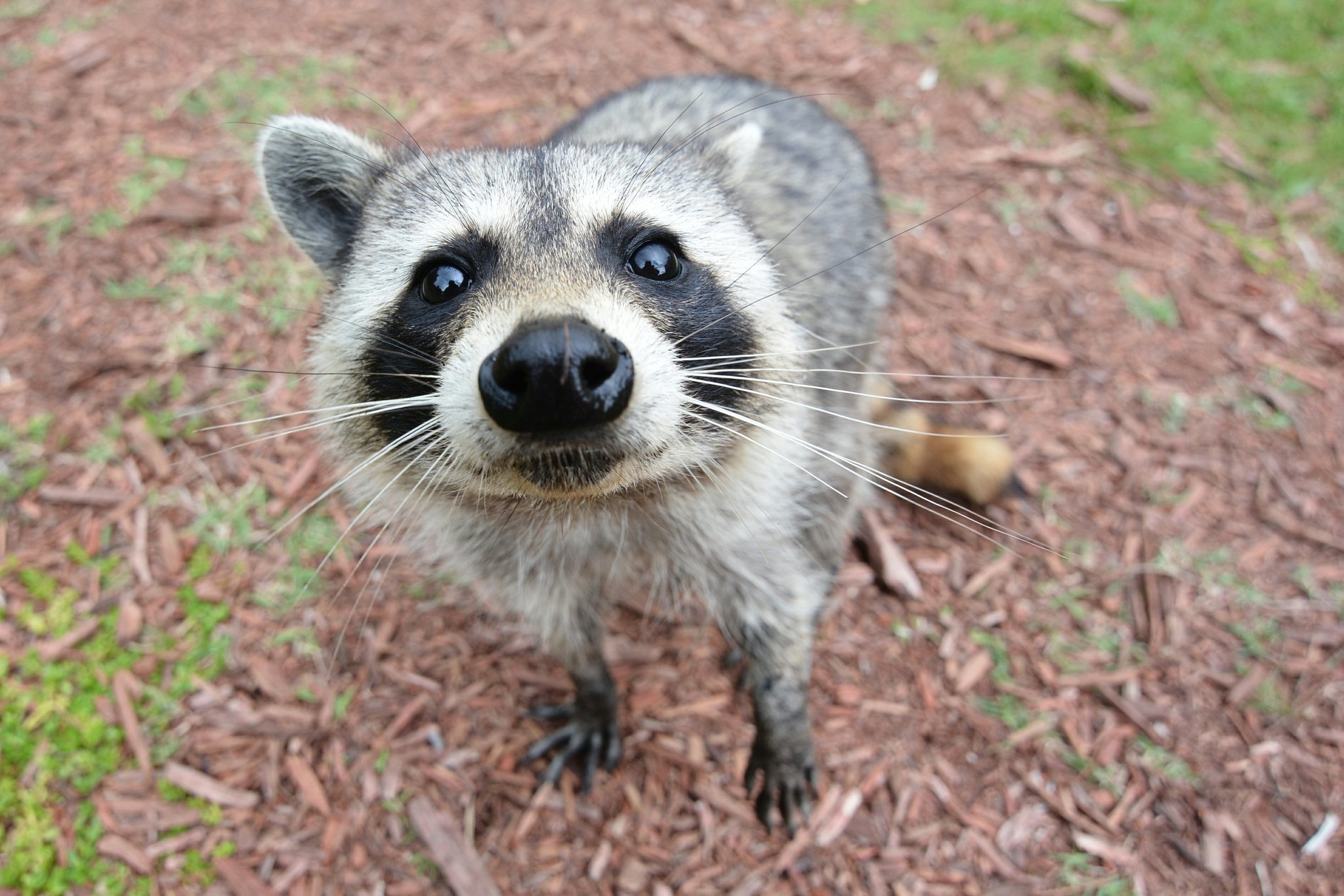 sailor did not use raccoon to bypass breathalyzer the san diego