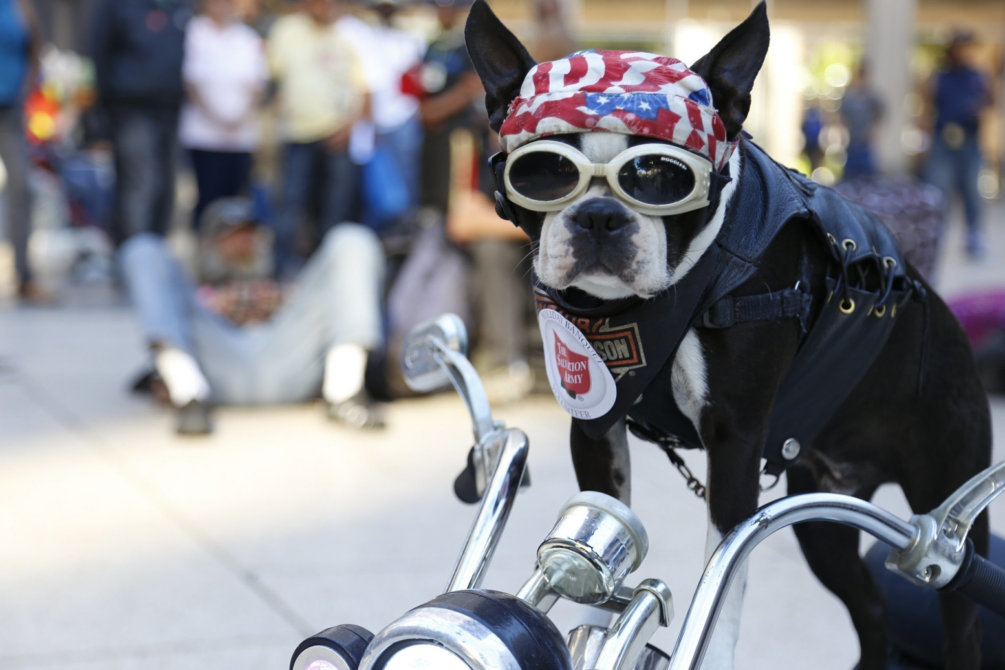 Chopper the biker dog loses therapy certification over costume chopper the biker dog loses therapy certification over costume the san diego union tribune xflitez Images