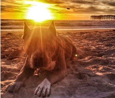 After SDPD kills pit bull, 20,000 demand justice for beloved pet