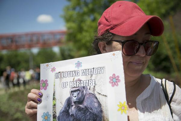 FILE - In this May 30, 2016 file photo, Alesia Buttrey, of Cincinnati, holds a sign with a picture of the gorilla Harambe during a vigil in his honor outside the Cincinnati Zoo & Botanical Garden, in Cincinnati.