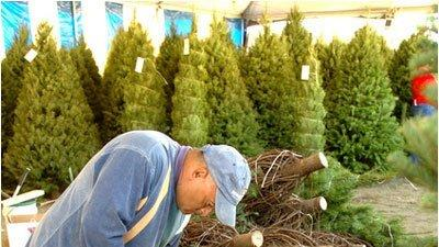 christmas tree buying season starts friday choosing right tree a careful process - Pinery Christmas Trees