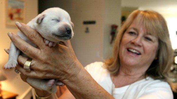 Temecula Abandoned Puppies Paired With Mama Labrador The San