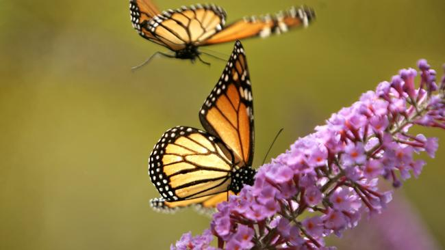 How Can I Create A Butterfly Garden? A Monarch Butterfly Sits On A Portion  Of A Butterfly Bush, While Another Files Above