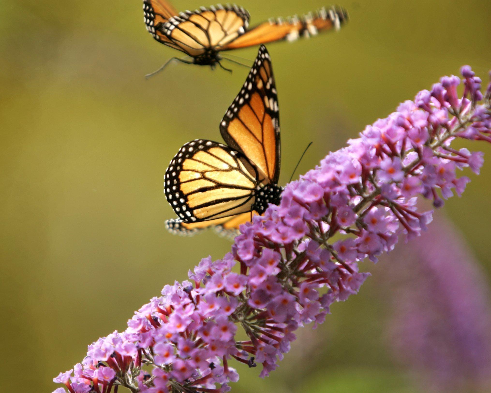 How Can I Create A Butterfly Garden The San Diego Union
