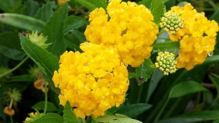 Natural la jolla lantanas bright flowers attract butterflies and this trailing lantana has intensely bright yellow flowers mightylinksfo