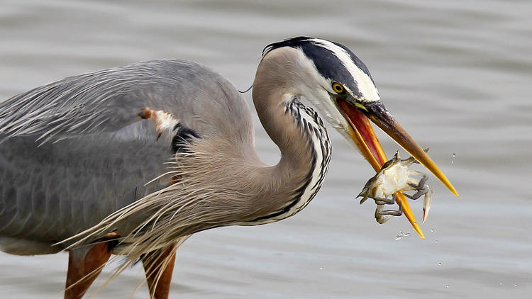 Pictures: Birds of the Chesapeake Bay