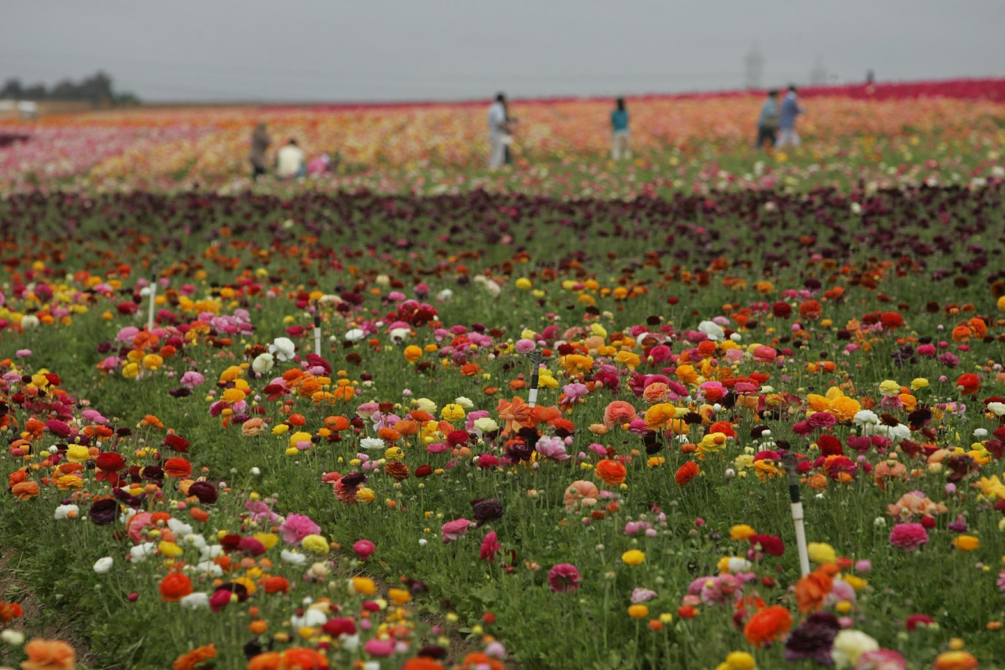 San diegos flower season begins the san diego union tribune mightylinksfo Images