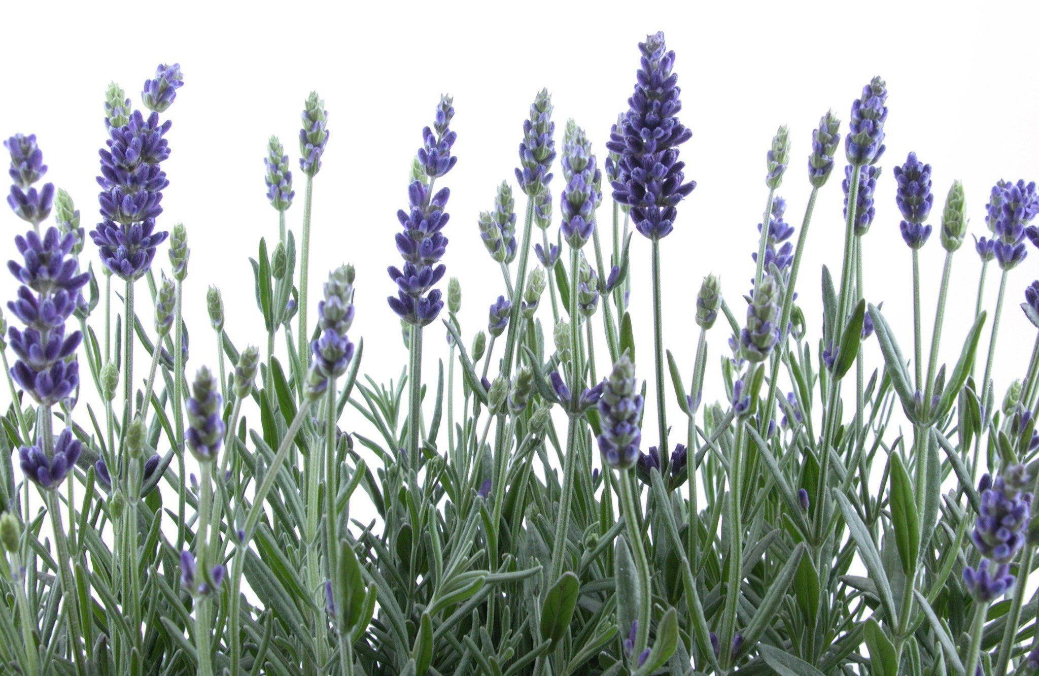 The joys of lavender - The San Diego Union-Tribune