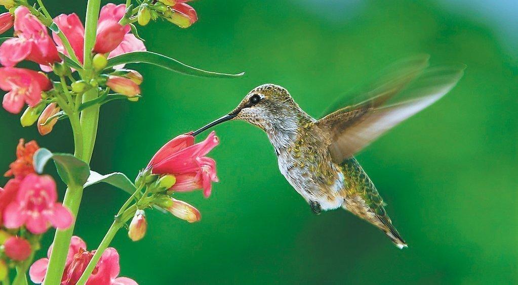 Plants that hummingbirds can t resist the san diego union tribune - Like that garten ...