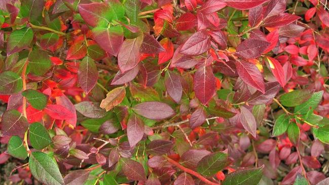 Plants with dramatic fall color the san diego union tribune in fall leaves of blueberry plants are tinged with red and pink mightylinksfo