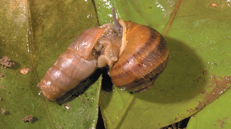 Good\' snails help eliminate pesky ones - The San Diego Union-Tribune