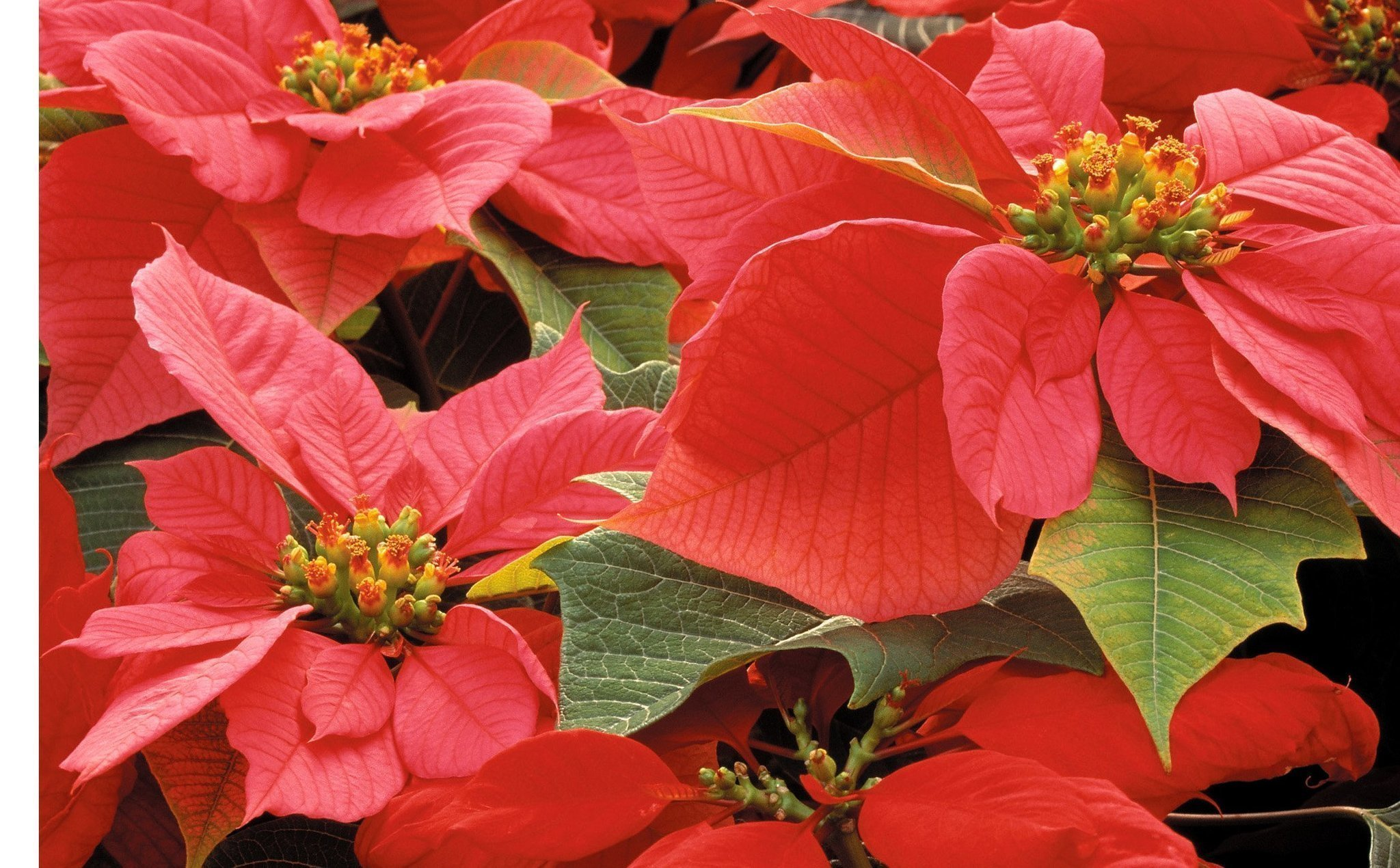 Holiday colors come alive with poinsettias - The San Diego Union-Tribune