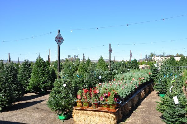 big rise in christmas tree sales the san diego union tribune - Sales On Christmas Trees