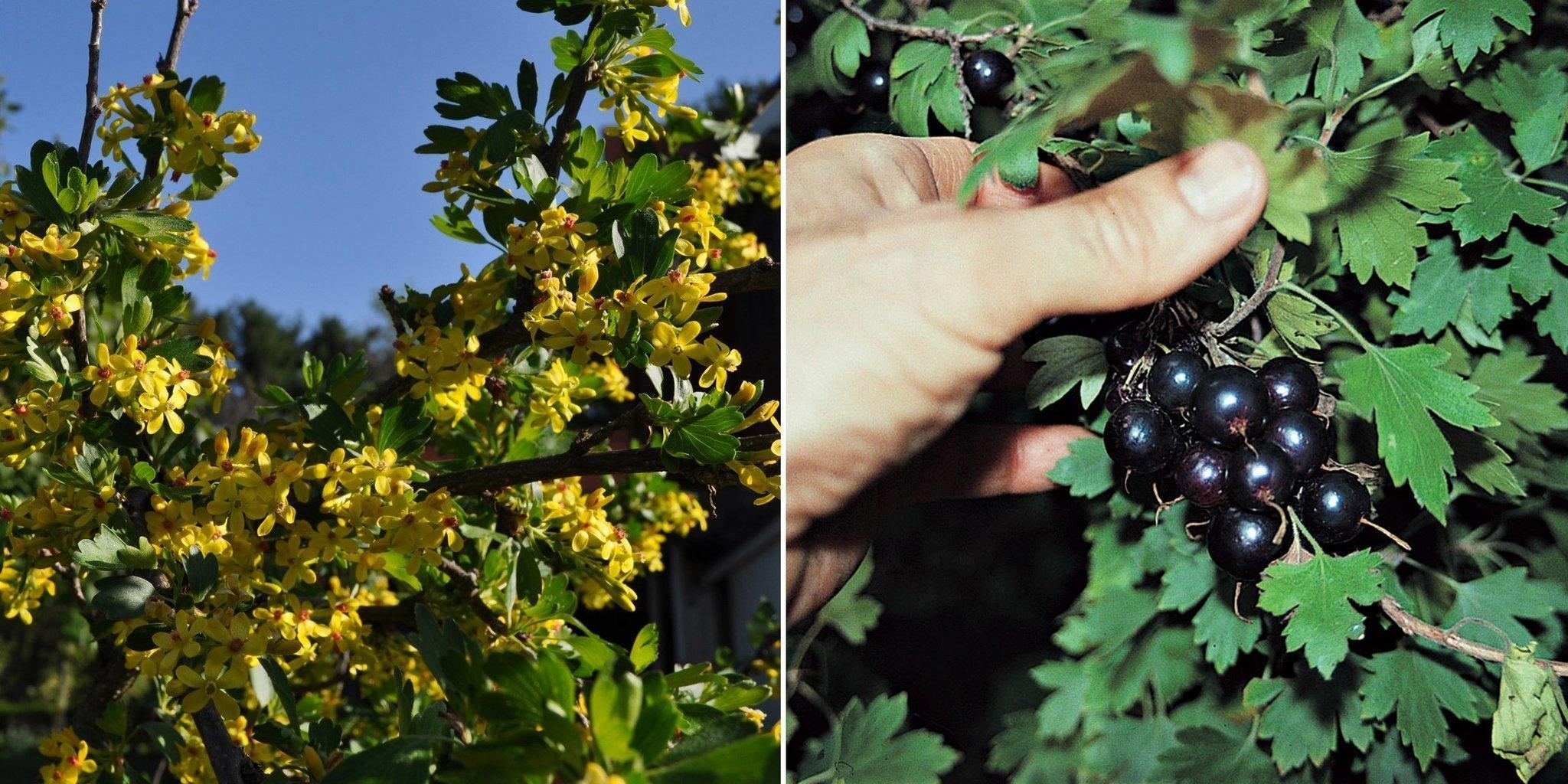 Native Plants Offer Fruit Beauty The San Diego Union Tribune