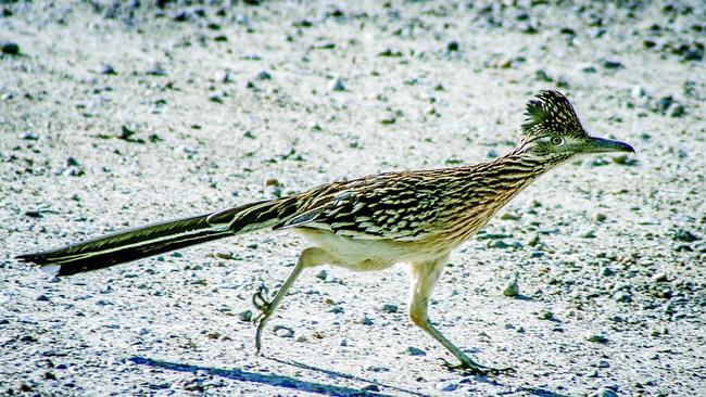 Countys Roadrunners Zip Along From Coast To Desert The San Diego