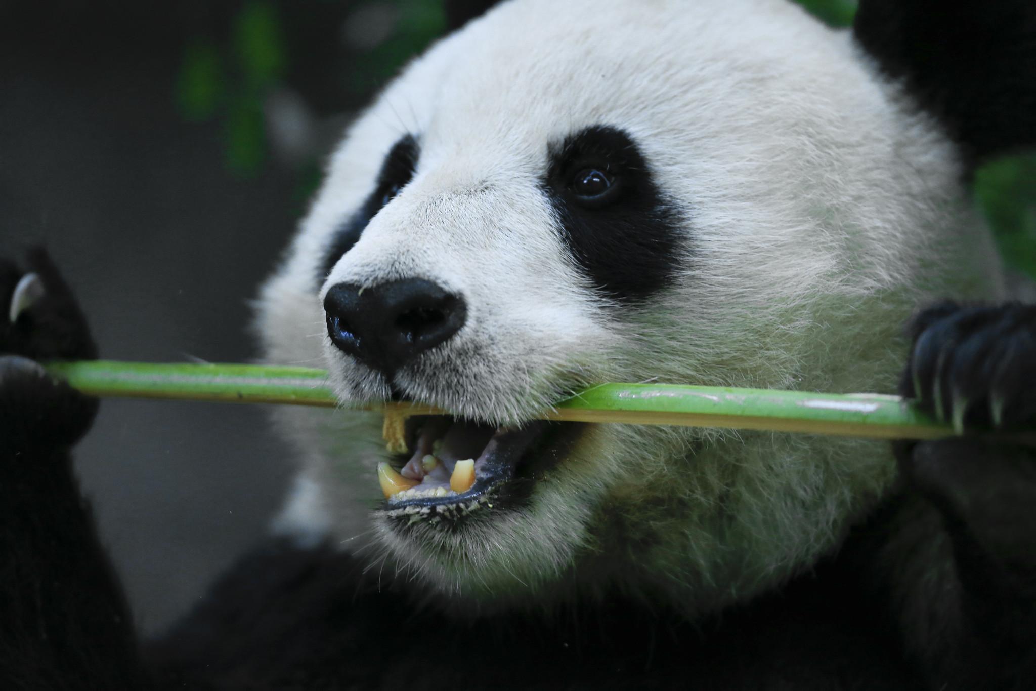 Panda bucket list