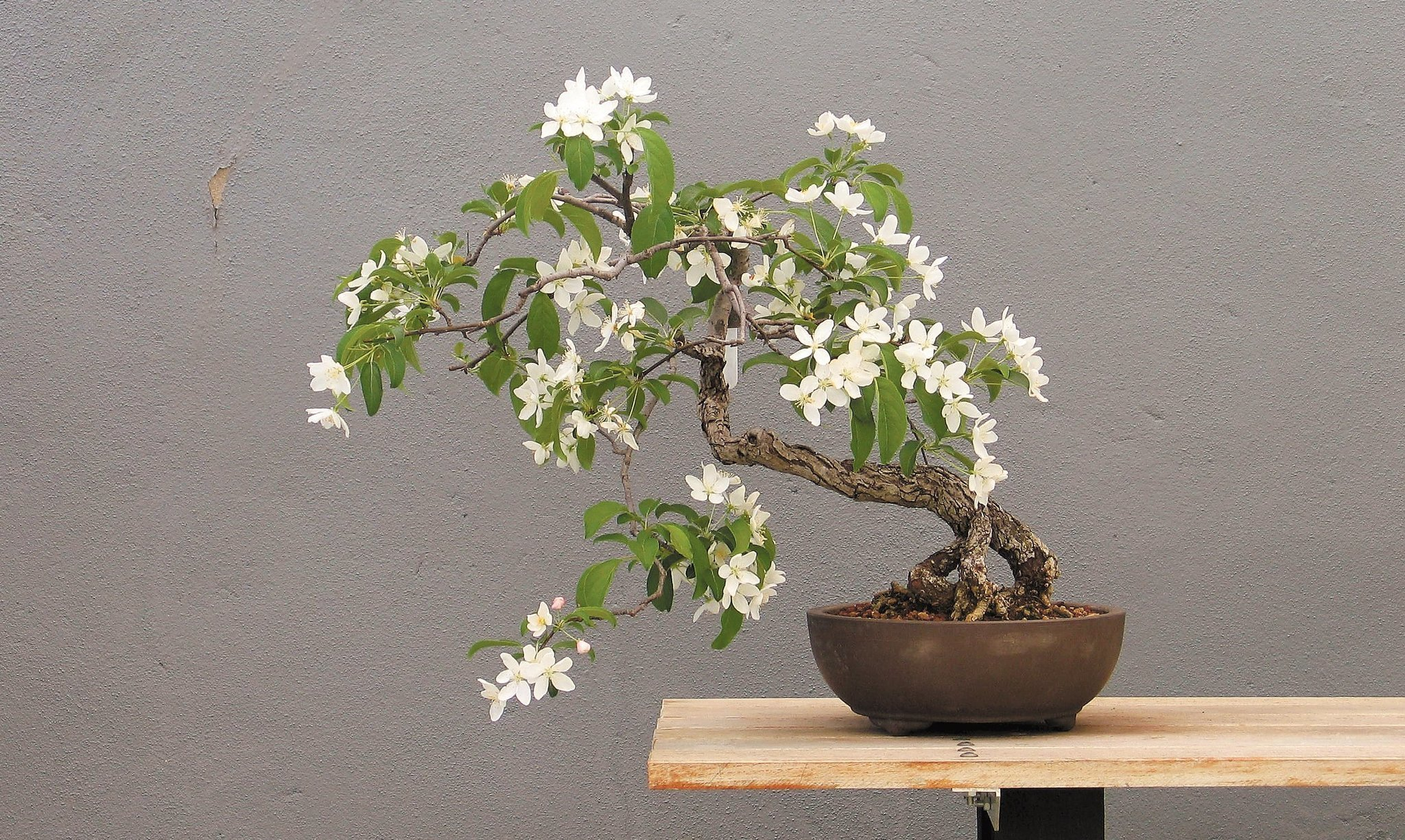 Bonsai is the haiku of the tree world The San Diego