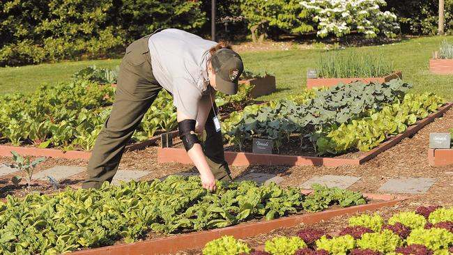 A National Park Service Worker Tends To The White House Kitchen Garden On  The South Lawn