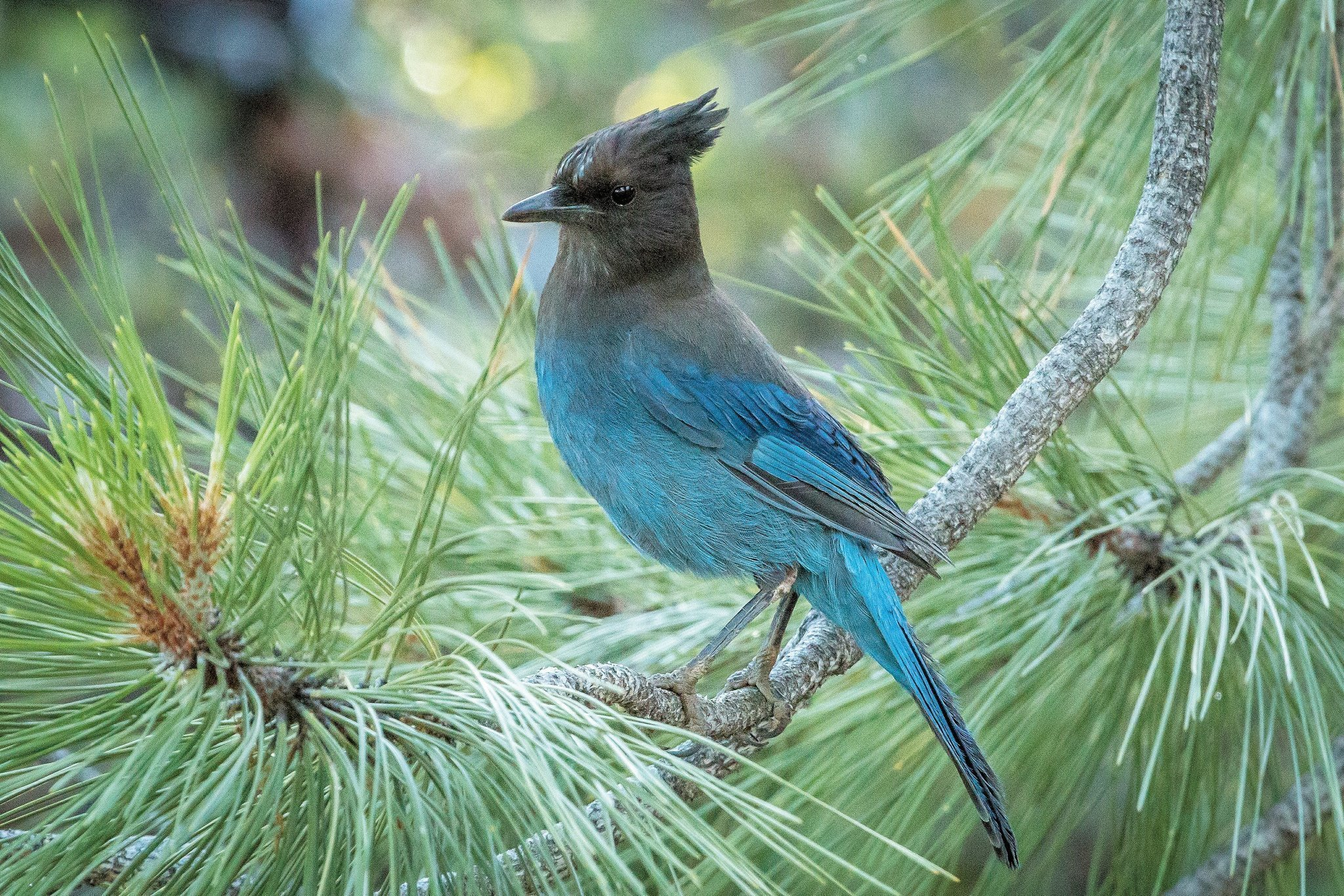 Two Blue Jay Species Are Common Sights For Bird Watchers
