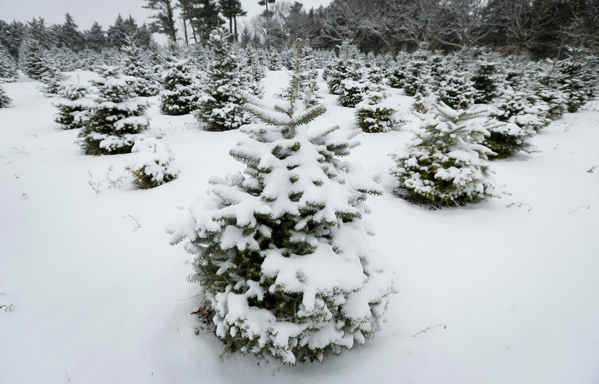 Growers grateful for higher Christmas tree prices - The San Diego ...