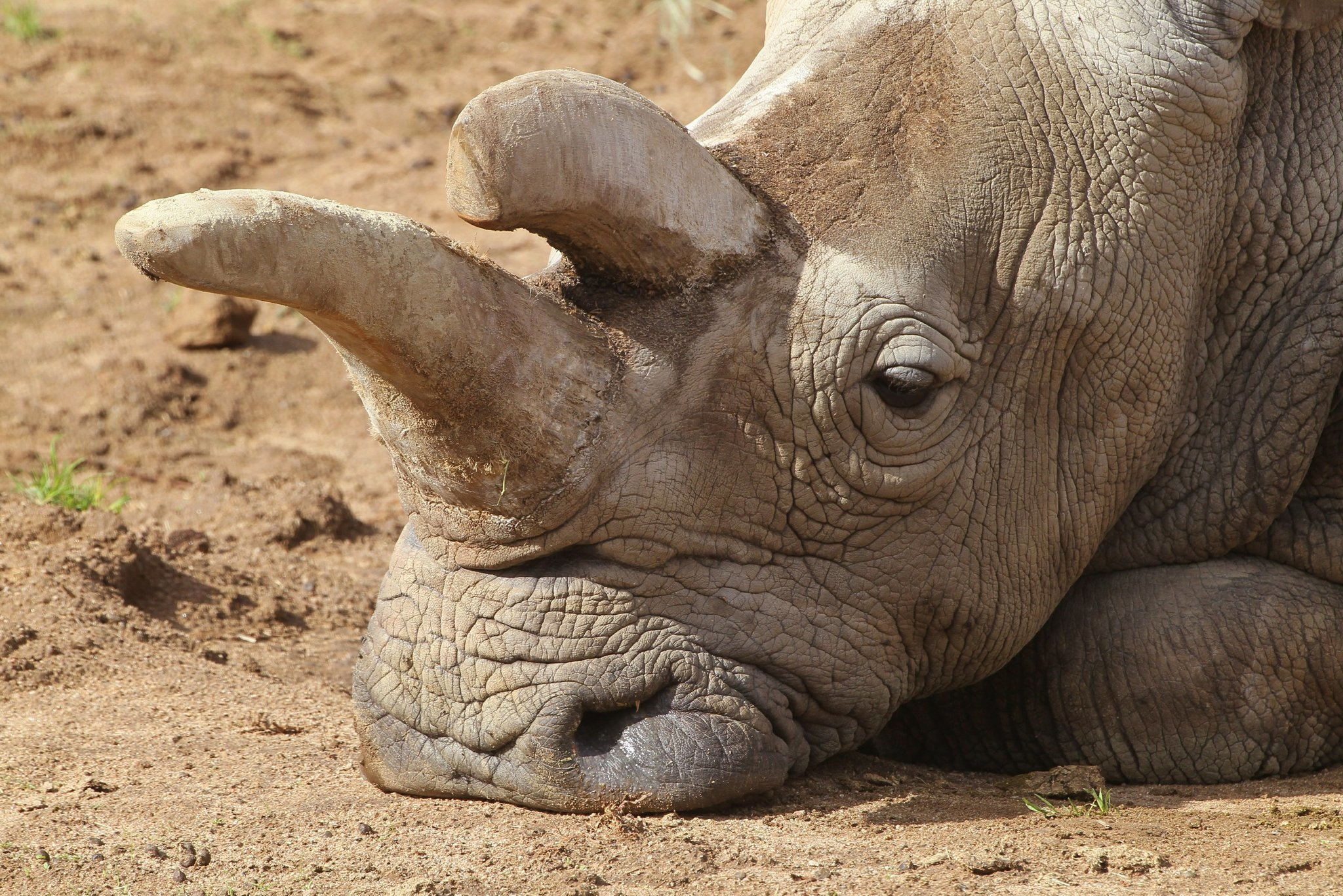 scientists seek to create new rhinos with stem cell