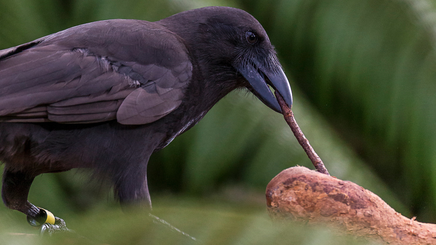 Image result for hawaiian crow images