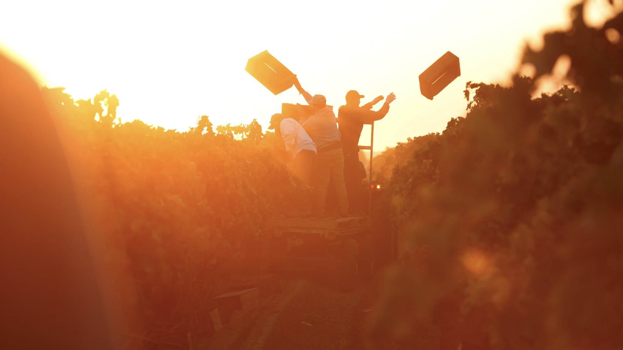 Farmworkers toss wooden crates into the fields for workers to use in picking grapes in Madera.