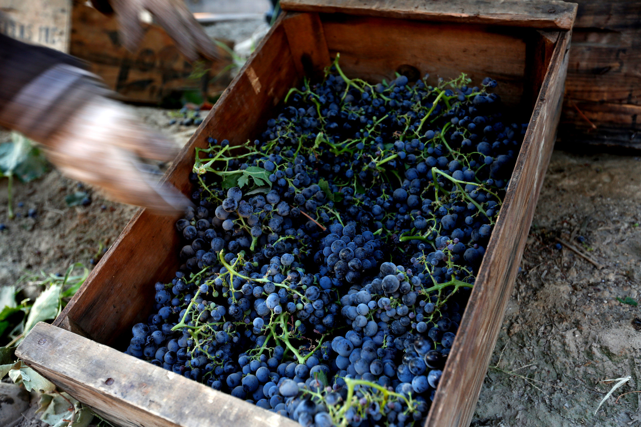 Grapes are gathered in a field in Madera.