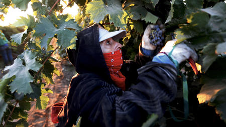 Cardenas picks grapes in Madera, Calif. The new overtime law signed by Gov. Jerry Brown won't take full effect until 2022.