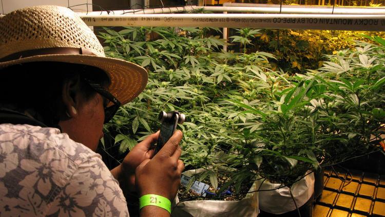Un recorrido turístico por el mundo del cannabis en Denver, Colorado ...