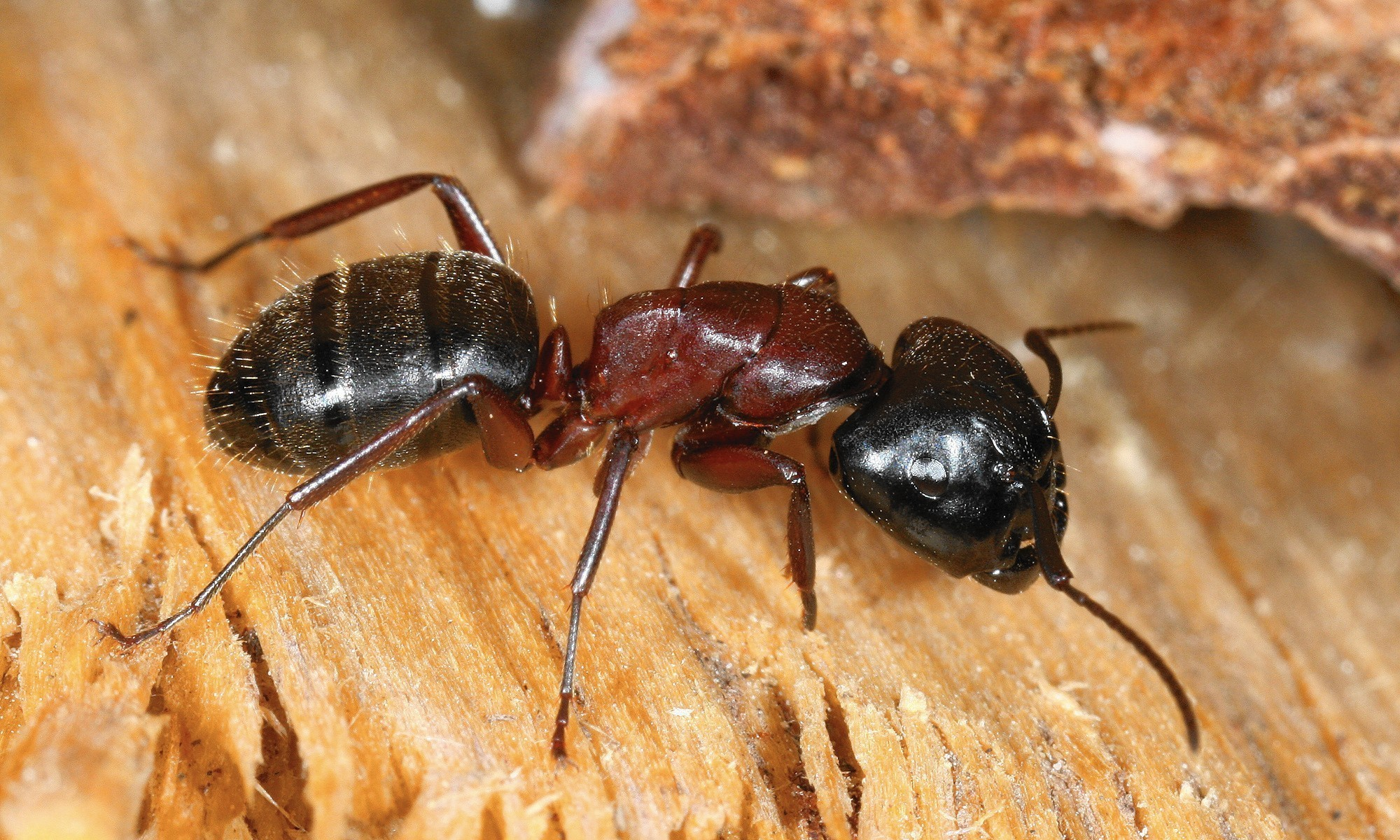 Carpenter Ants Mean Its Time To Check On Tree Chicago Tribune
