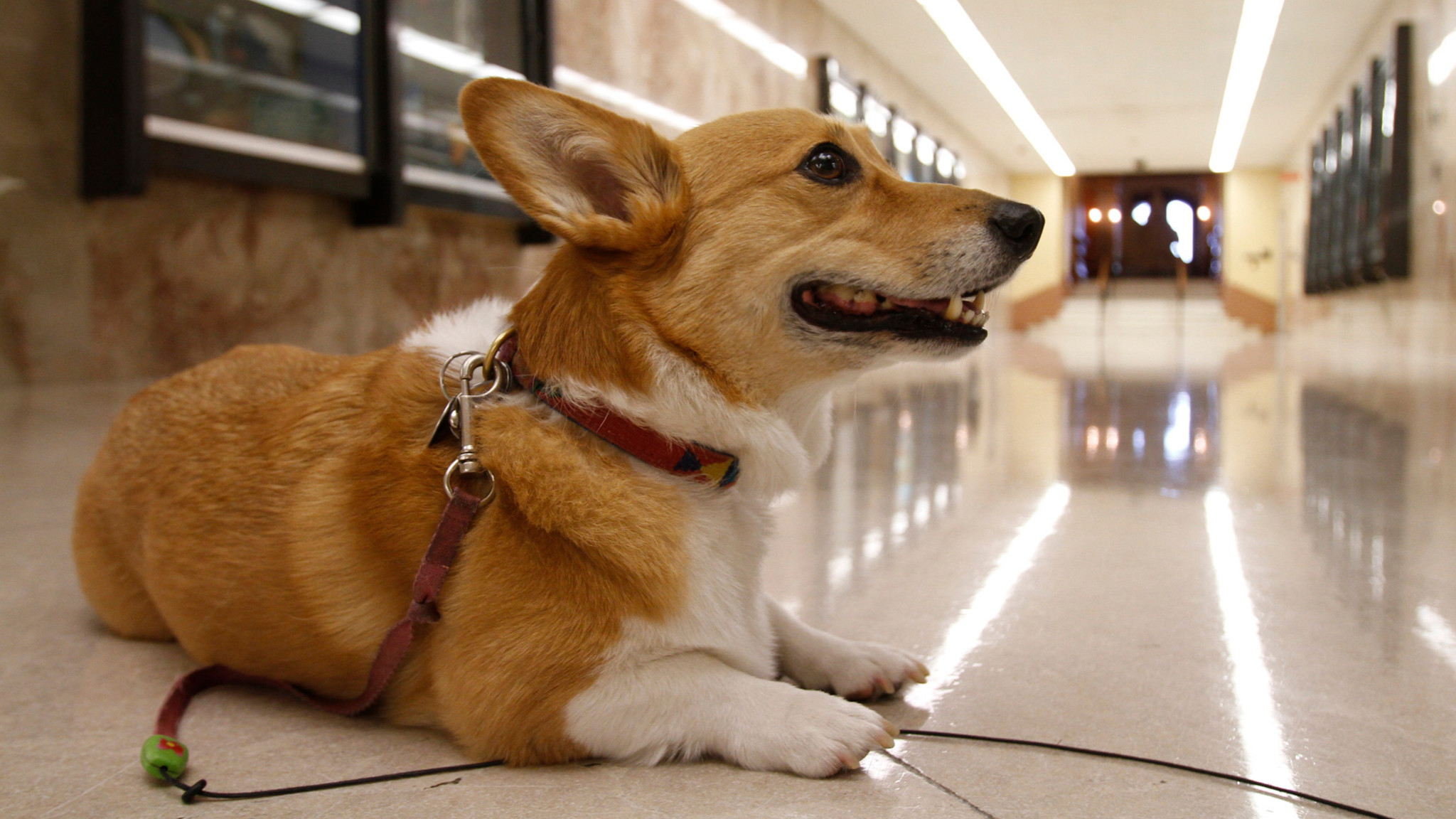Sutter Brown, the governor's beloved Corgi, in the state Capitol's main hallway in 2011.