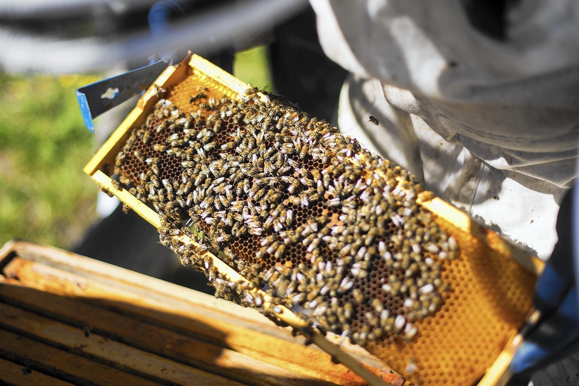 naperville sets regulations for backyard honeybees naperville sun