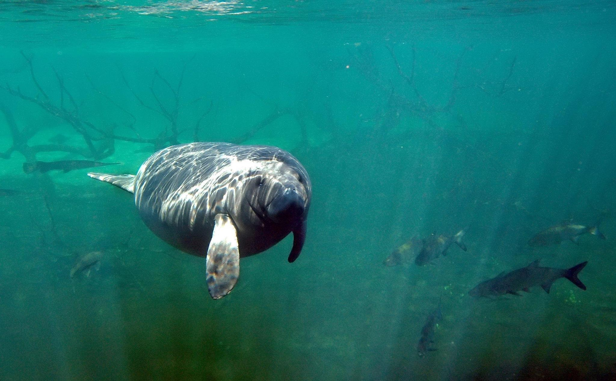 Manatees arrive, facing spike in boat deaths, loss of ...
