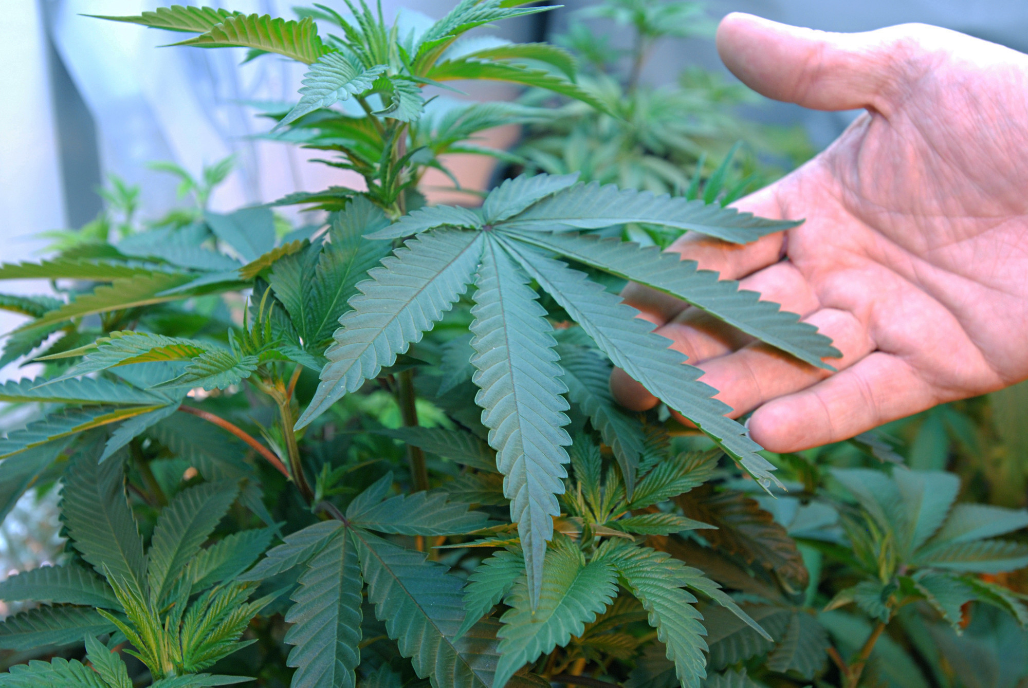 can your landlord just say no to marijuana now that prop 64 can your landlord just say no to marijuana now that prop 64 passed the san diego union tribune