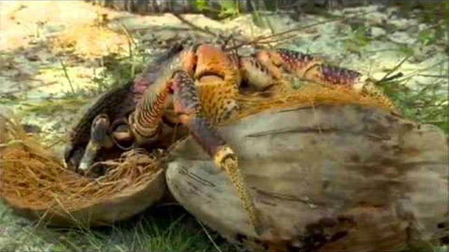 Image result for coconut crab