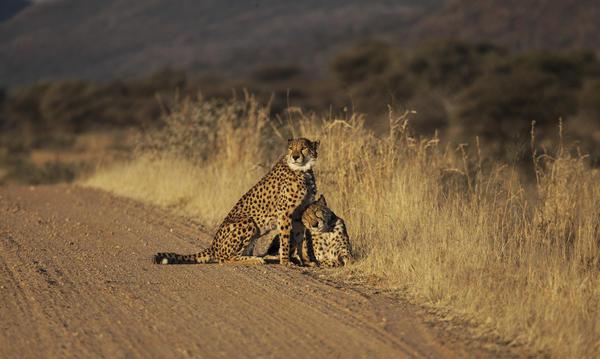 Track endangered cheetahs on this tour of Namibia