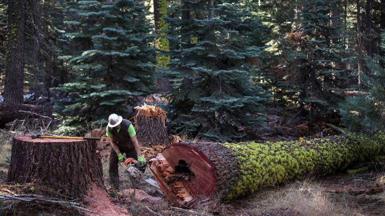 Garrett McGee makes an end cut on a felled tree at Camp La Salle while prepping them to be transported to a sawmill in Huntington Lake.