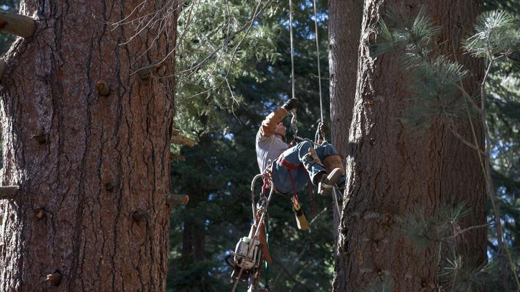 Arborist Craig Erickson uses ropes and a sling to climb to the top of tree at Huntington Lake.