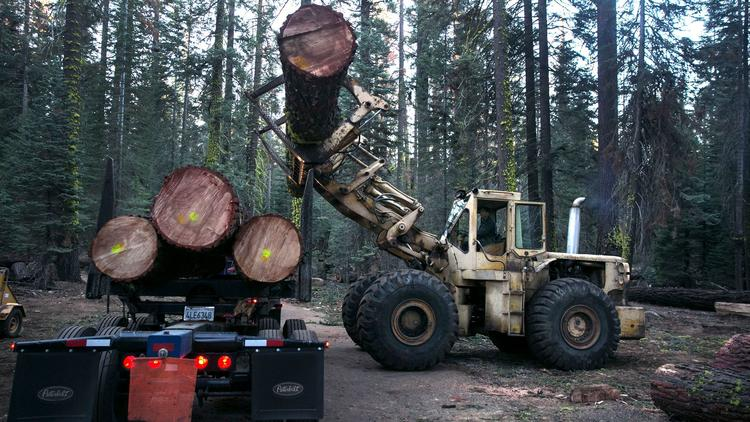 Brock Kant loads fir trees with his grandfather's Caterpillar 980 onto a logging truck in the before dawn at Camp La Salle in Huntington Lake.